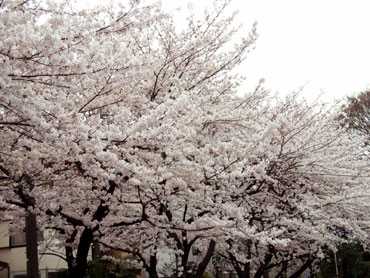 桜といえばソメイヨシノ
